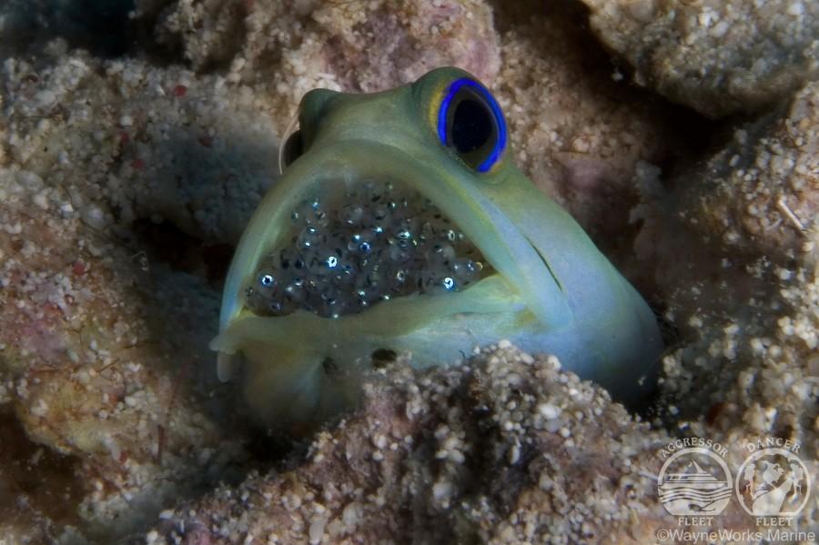 Belize Jawfish