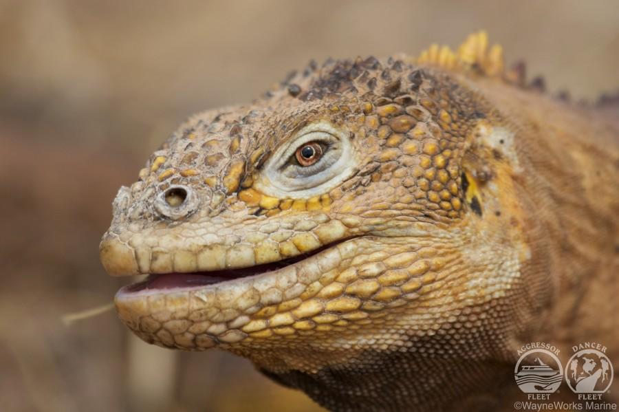 GalapagosAggressorIguana